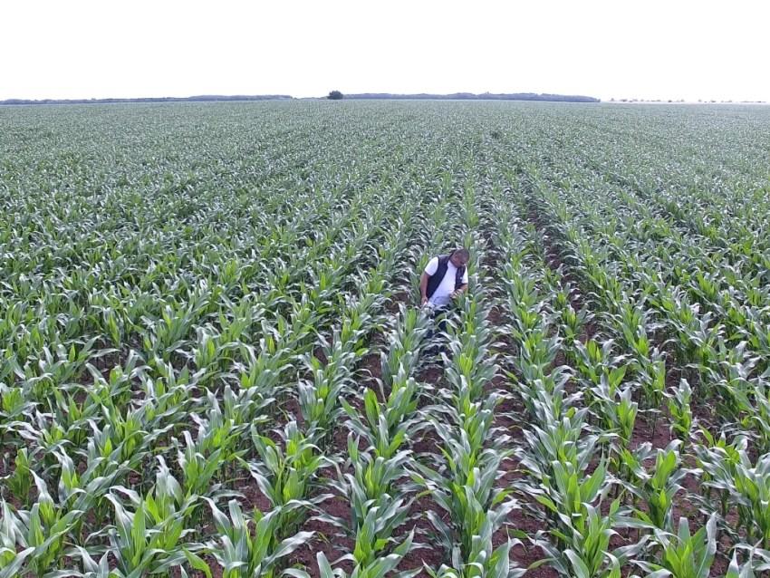 Как влияе сушата за усвояването на азот от царевицата?