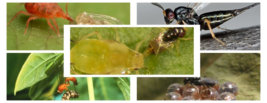 Parasitoid control of aphids in organic and conventional farming systems