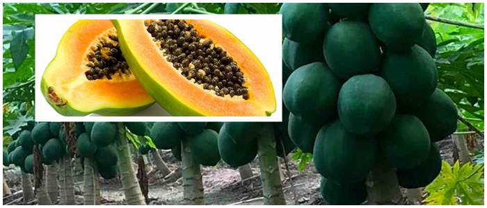 How To Grow Papaya: Growing Papaya From Seeds