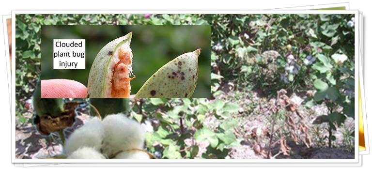 Cotton seed yield and its quality as affected by mineral nutrients and plant growth retardants