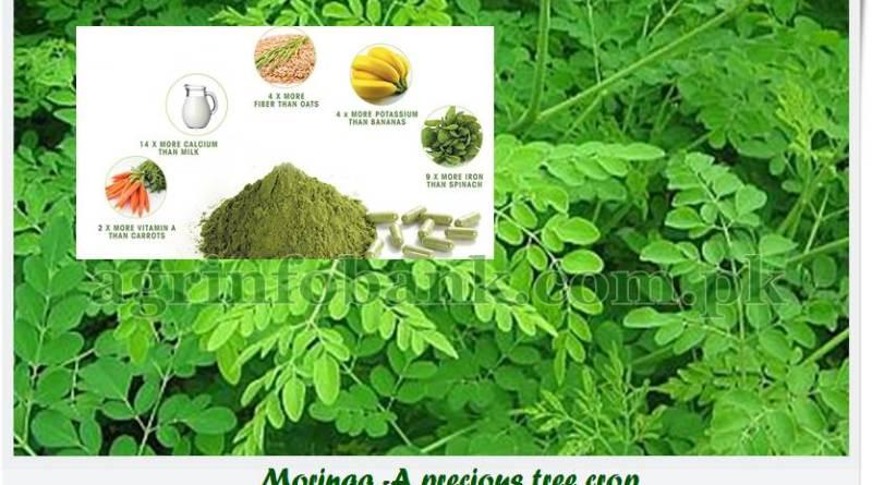 Moringa -A precious tree crop