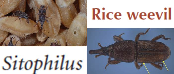 Rice weevil in Pakistan