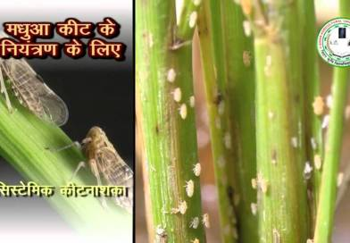 Insect and Pest Control in Paddy