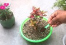 How to use tea fertilizer for any plants