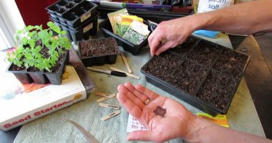 How to grow oregano from seed