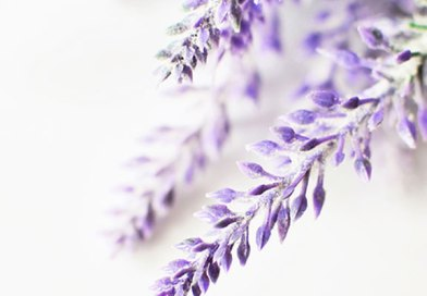Lavender (Lavandula spp.)
