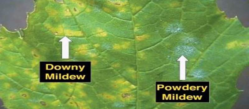Which Plants Can Get Powdery Mildew?