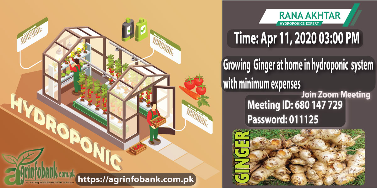 Growing ginger at home in a hydroponic system with minimum expense