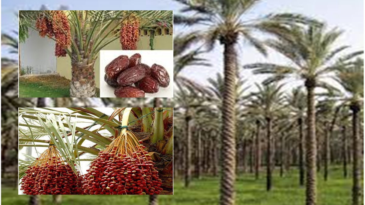 Date Palm (Phoenix dactylifera ): Current Status, Cultivation, Pest, Diseases and Processing