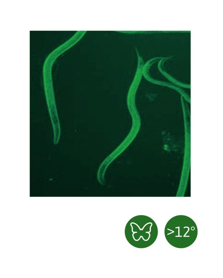 Heterorhabditis bacteriophora