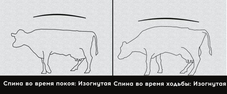 5 степень хромоты коровы. Крайняя хромота