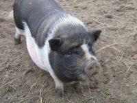 porcnegru