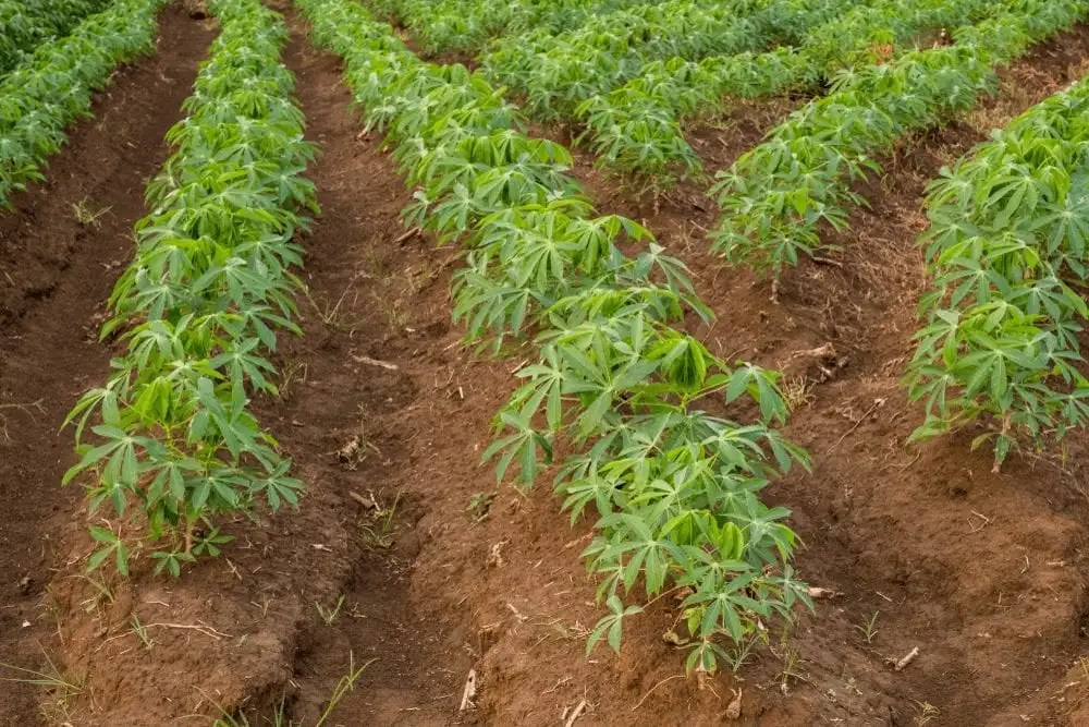 Cassava planted on rigdes