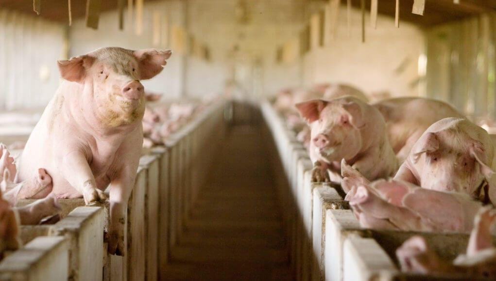 commercial pig farming benefits