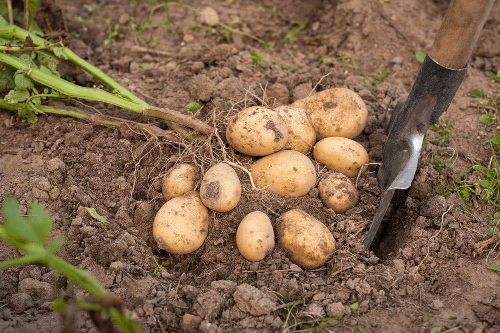 Potato Farming process - Harvesting potatoes