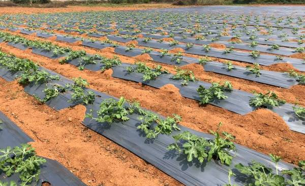 Water-Melon-Plants-with-plastic-Mulching.