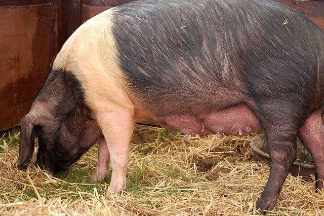 Essex hogs