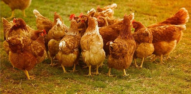 Free-range-layers-chicken