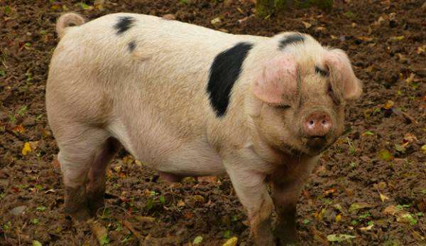Gloucestershire-Old-Spots-Pigs-agro4africa