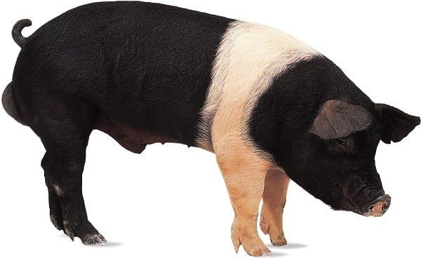 Hampshire-boar-pig-breed