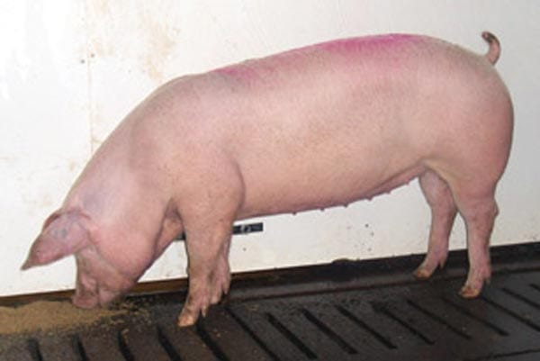 Lacombe pig breeds - agro4africa