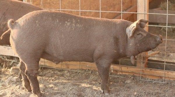 Red Wattle hog breeds agro4africa