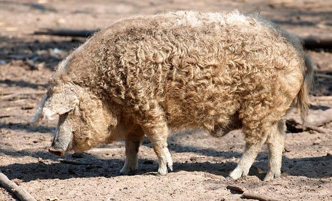 mangalica-pig-breeds-agro4africa