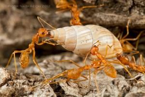 ants invade a snail farm and eats a snail