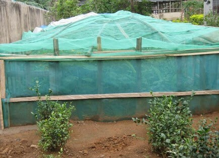 mosquito nets prevent ant invasion in snail farm