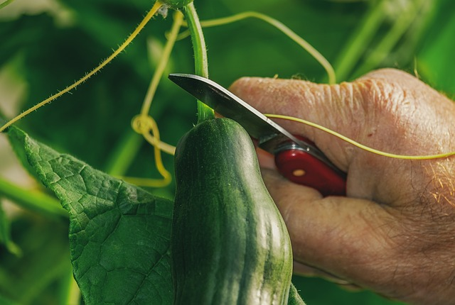 harvesting-of-cucumber-with-a-short-knife