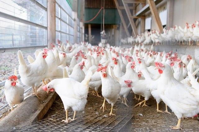 slatted-floor-poultry-housing-system