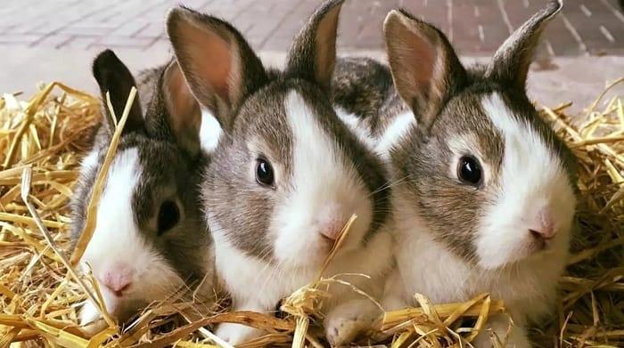 rabbit-breeds-for-farming