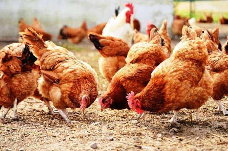 layer-chickens-or-egg-productive-poultry-breed