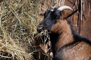 list of food goats eat