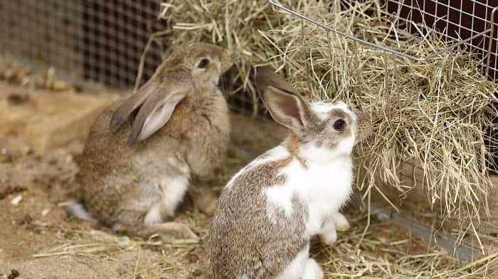 two-rabbits-eating-dry-hay-as-food