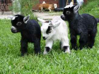 how-to-raise-pygmy-goats-as-pets