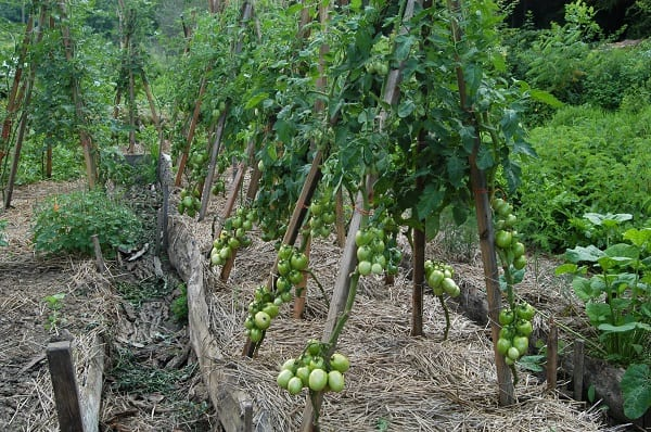 staking tomato plants using wooden trellis and cords in tomato farming