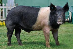 Hampshire pig breed information, origin and characteristics