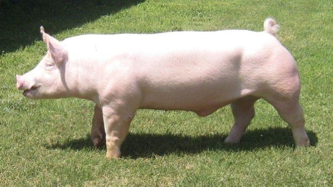 Yorkshire-Pig-breed-Characteristics