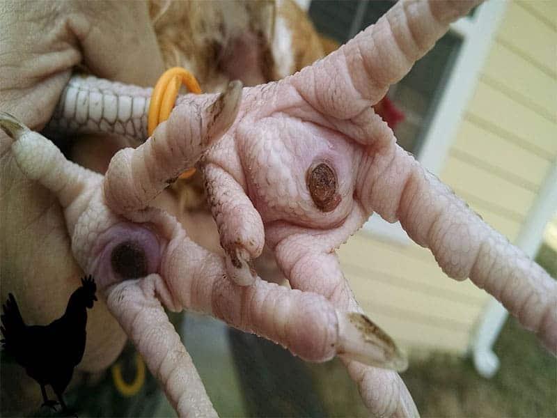 bumblefoot disease