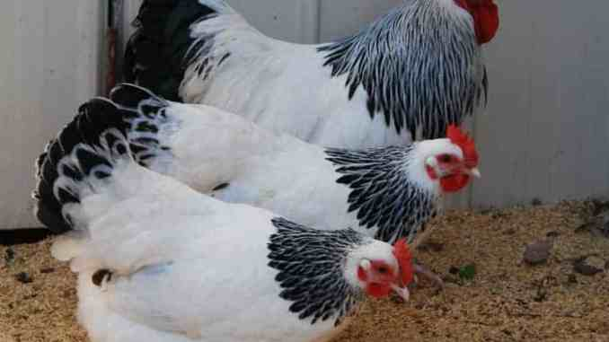 light-sussex-chickens