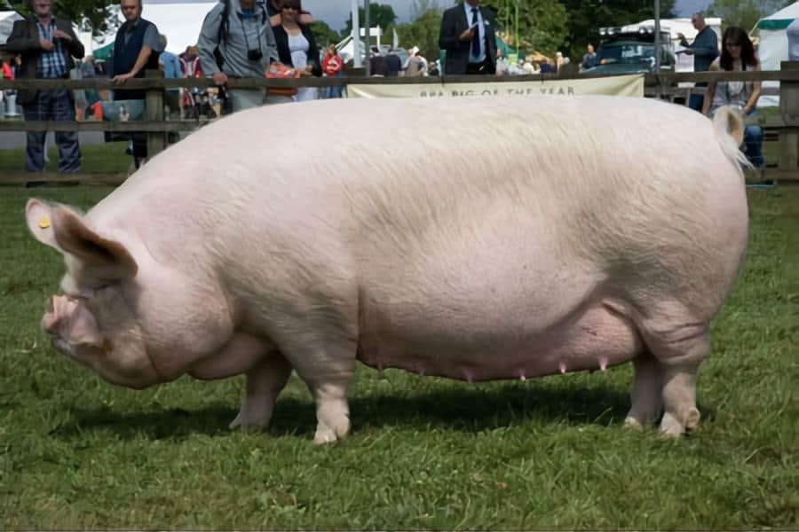 middle white Yorkshire pig sow