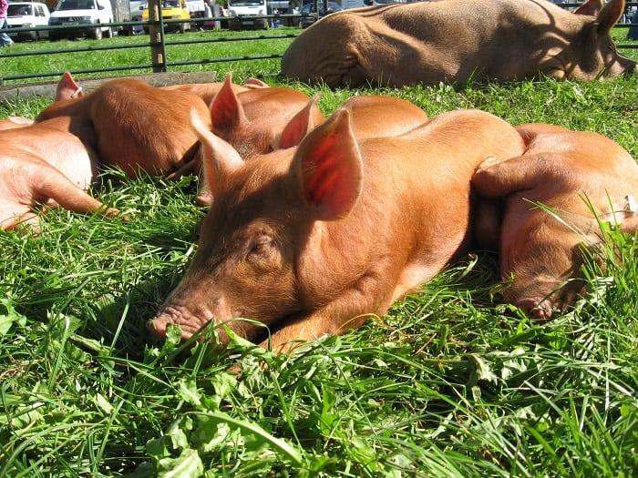 piglets of tamworth pig breed