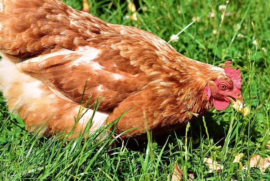 Isa brown chicken breed male
