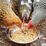 health benefits of fermented chicken feeds