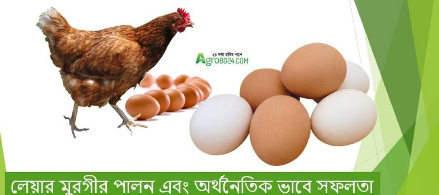 Layer hen rearing and economical benefit