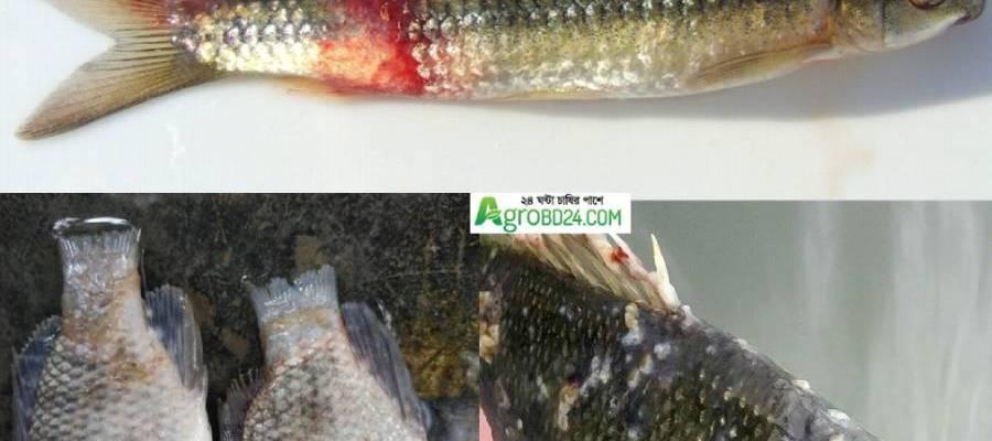 potassium permanganate in Fish diseases