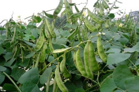 Beans Cultivation