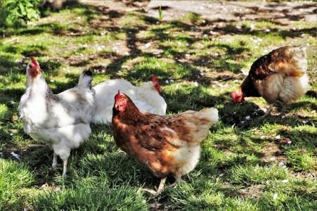 Avicultura ecológica