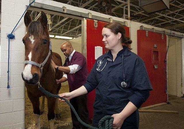Veterinarios evaluando la salud del ganado equino